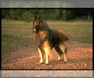 Image of Belgian Tervuren Breed