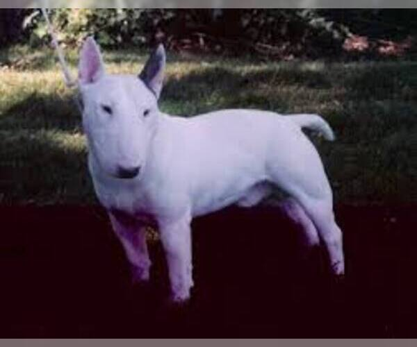 Medium Photo #7 Miniature Bull Terrier Dog Breed