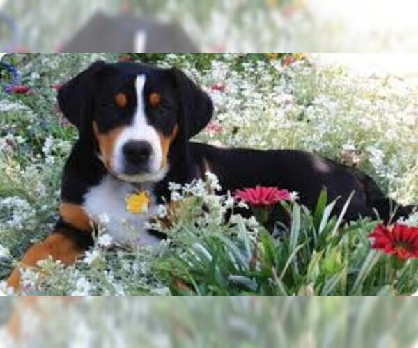 Image of Greater Swiss Mountain Dog Breed