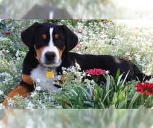 Samll image of Greater Swiss Mountain Dog