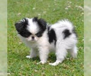 Small #3 Breed Japanese Chin image
