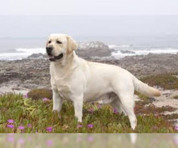 Image of Labrador Retriever Breed