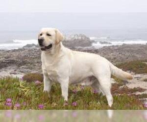 Samll image of Labrador Retriever