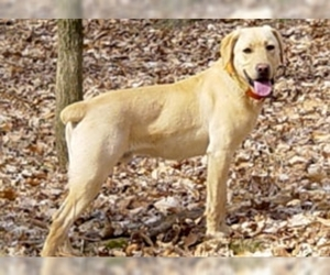 Image of Mountain View Cur breed