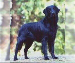 Small #5 Breed Flat Coated Retriever image