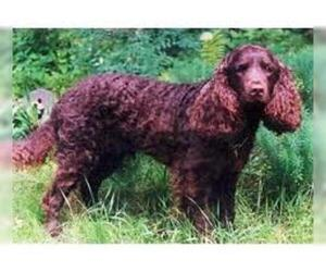 Small #4 Breed American Water Spaniel image