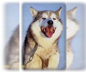 Image of Alaskan Husky Breed