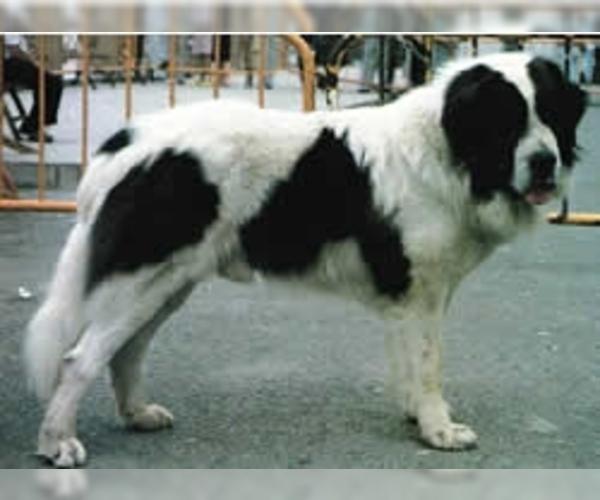 Pyrenean Mastiff