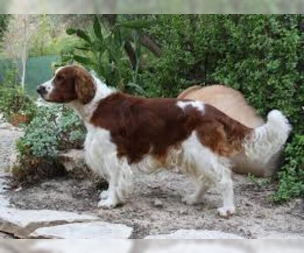 Medium Photo #2 Welsh Springer Spaniel Dog Breed