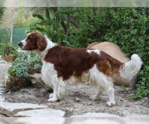 Small #1 Breed Welsh Springer Spaniel image