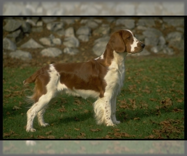 Image of Welsh Springer Spaniel Breed