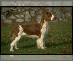 Image of breed Welsh Springer Spaniel