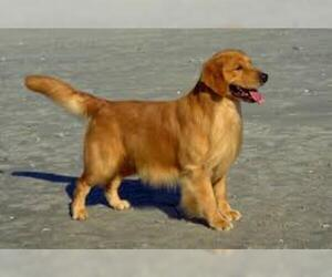 Small #5 Breed Golden Retriever image