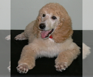 Small Photo #8 Poodle (Standard) Dog Breed