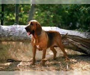 Small #7 Breed Bloodhound image