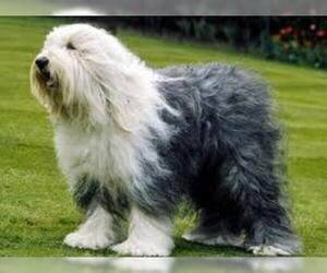 Small #3 Breed Old English Sheepdog image