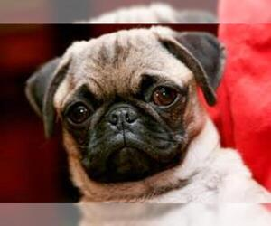 Small Photo #12 Pug Dog Breed