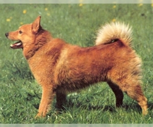 Image of Karelo Finnish Laika breed