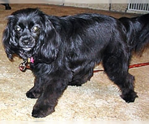 Image of Cockeranian Breed