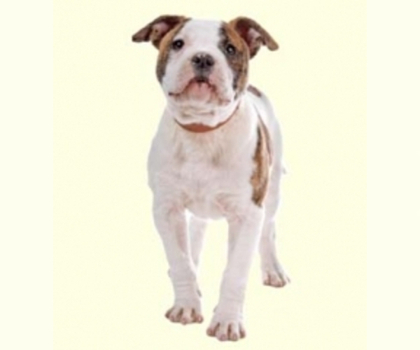 Image of Olde Bulldog Breed