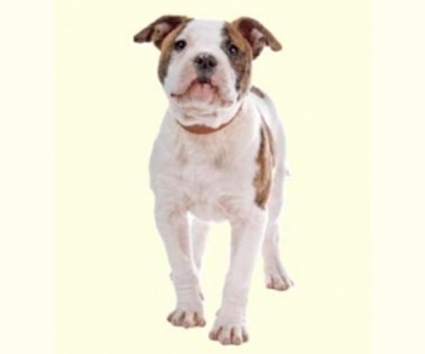 Olde Bulldog