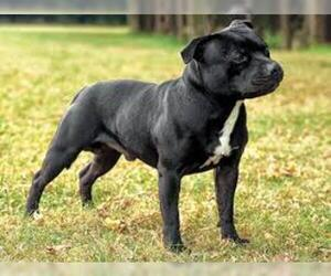 Small #1 Breed American Staffordshire Terrier image