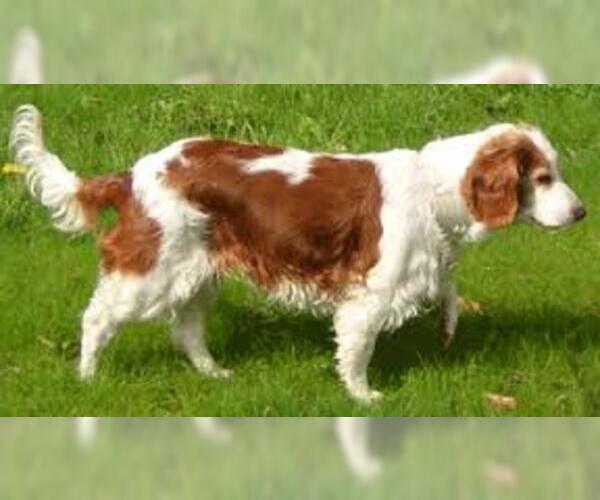 Medium Photo #4 Welsh Springer Spaniel Dog Breed