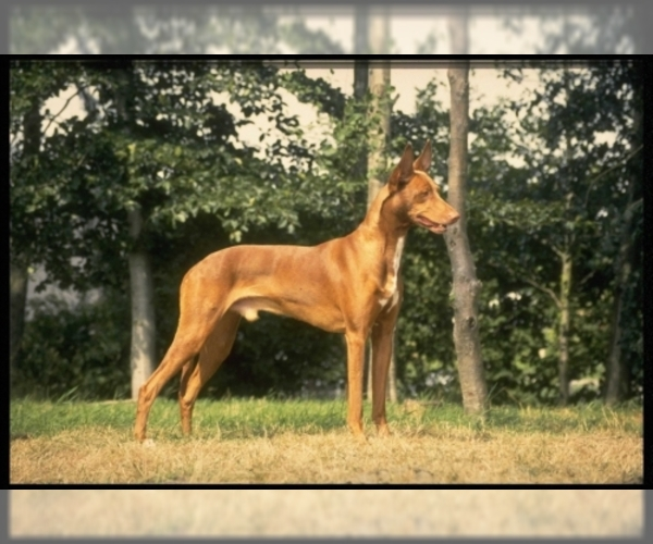 Image of Pharaoh Hound Breed