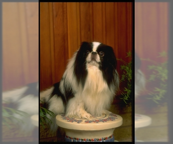 Image of Japanese Chin Breed