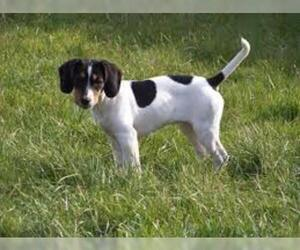 Jack A Bee Breed Information And Pictures On Puppyfinder Com
