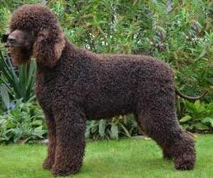 Small #4 Breed Irish Water Spaniel image