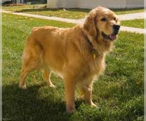 Small #2 Breed Golden Retriever image