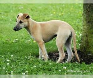 Small #2 Breed Whippet image