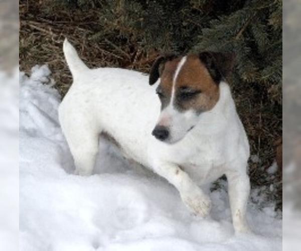 Rustralian Terrier
