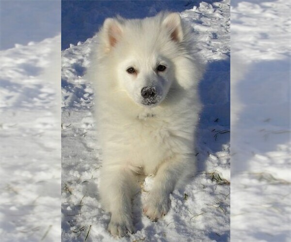 Full screen Photo #3 American Eskimo Dog (Toy) Dog Breed