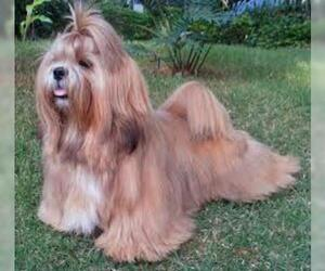 Small #3 Breed Lhasa Apso image