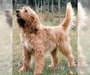 Small #6 Breed Otterhound image