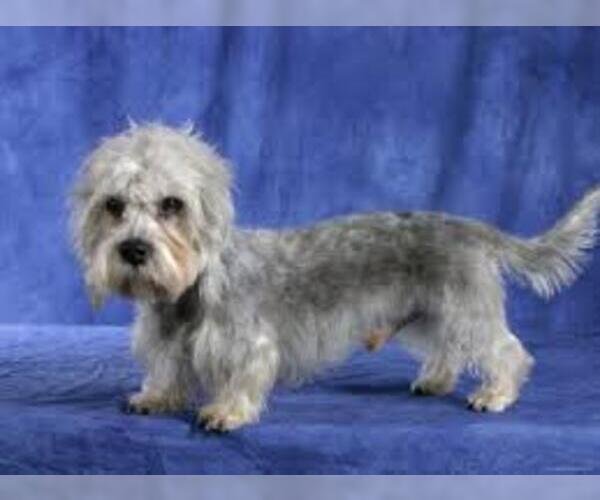 Medium Photo #3 Dandie Dinmont Terrier Dog Breed