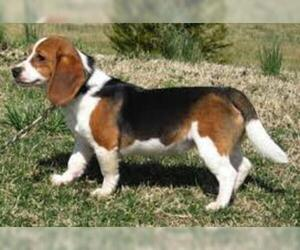 Small #3 Breed Beagle image