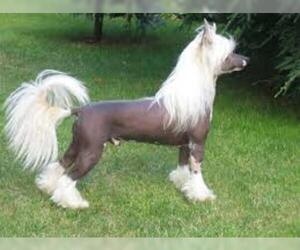 Small #2 Breed Chinese Crested image