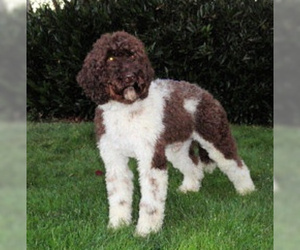 Small #6 Breed Australian Labradoodle image