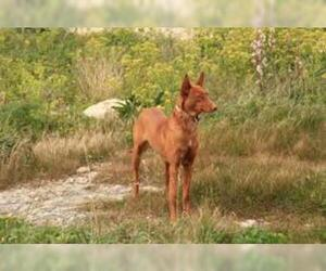 Small #5 Breed Pharaoh Hound image
