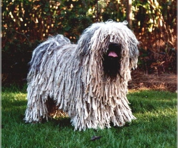 Image of Puli Breed
