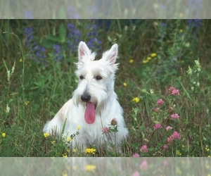 Image of breed Scottish Terrier