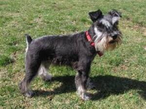 Small #5 Breed Schnauzer (Miniature) image