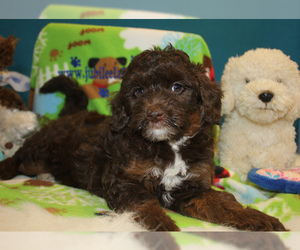 Small #7 Breed Labradoodle image