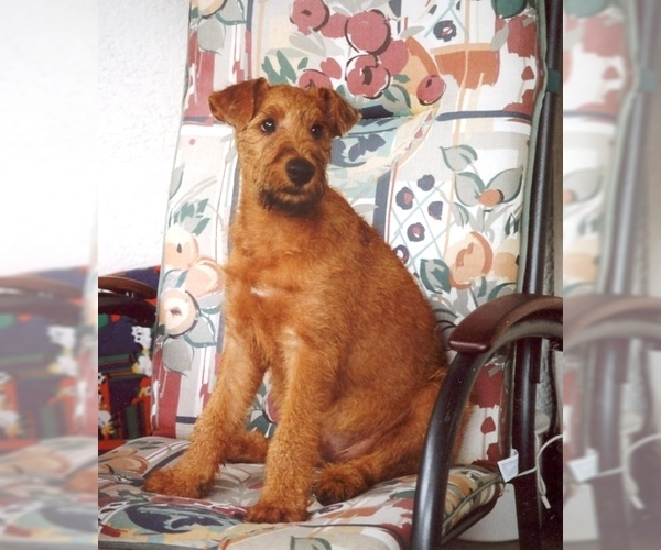 Image of Irish Terrier Breed