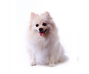 Samll image of Miniature Spitz