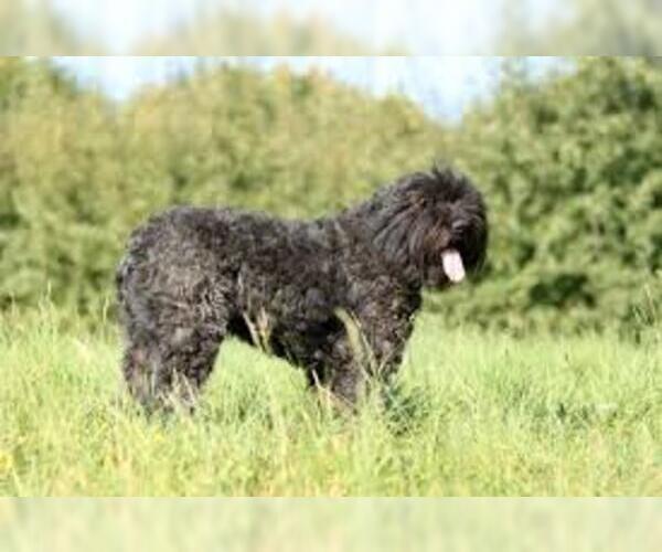 Medium Photo #4 Bouvier Des Flandres Dog Breed
