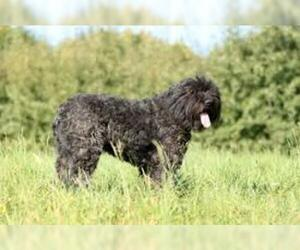 Small Photo #4 Bouvier Des Flandres Dog Breed